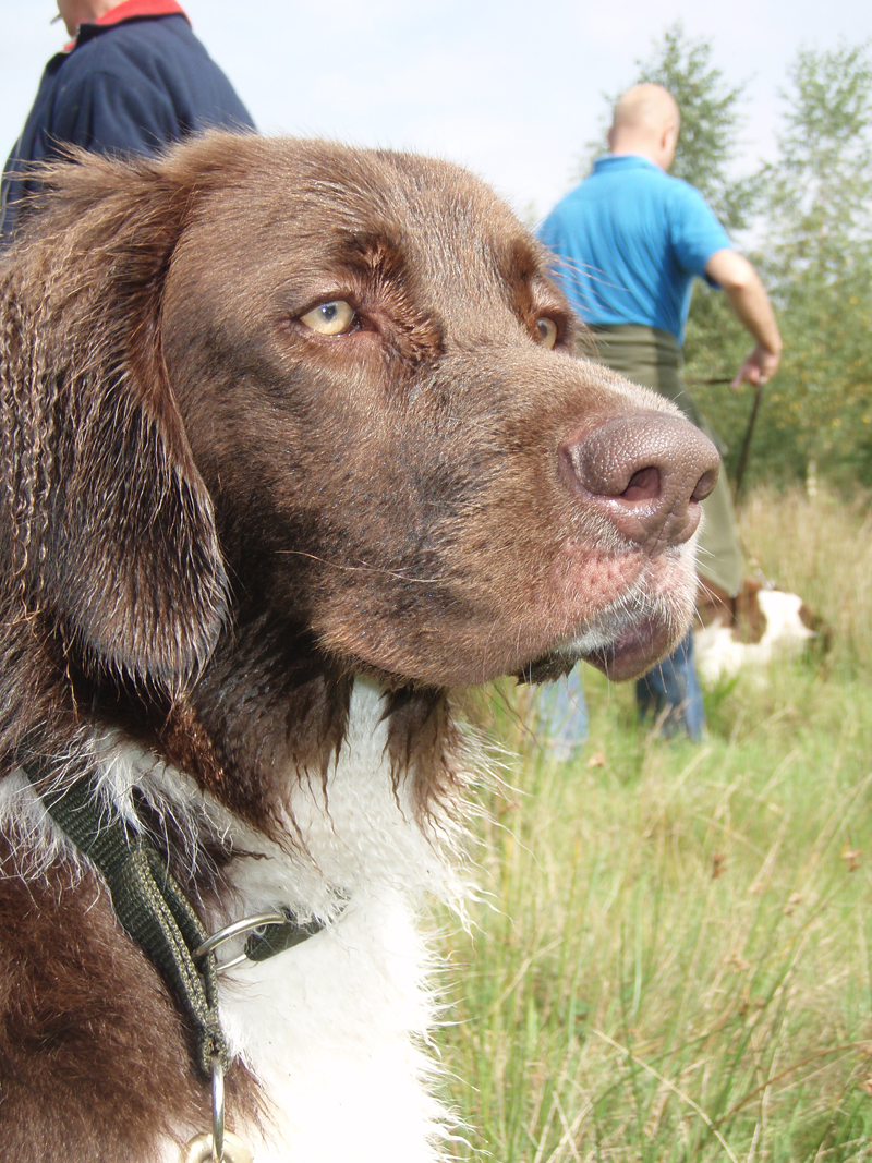 Drentse Patrijshond Puppies: Drentse Watching Drentse Patrijshond Dog Breed
