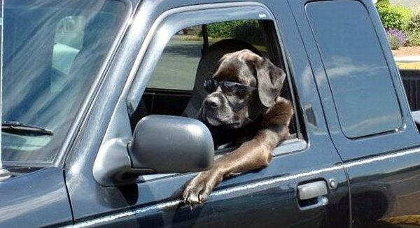 Drever Dog: Drever Cool Dog Driver Breed