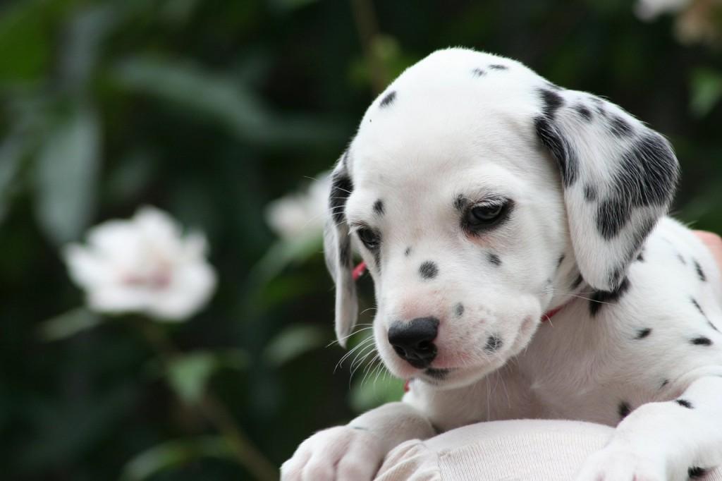 Drever Puppies: Drever Dalmationpuppy Breed