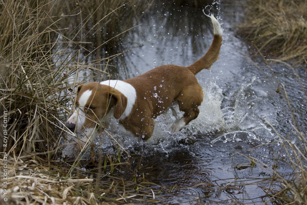 Drever Dog: Drever Drever Dog In The Water Breed