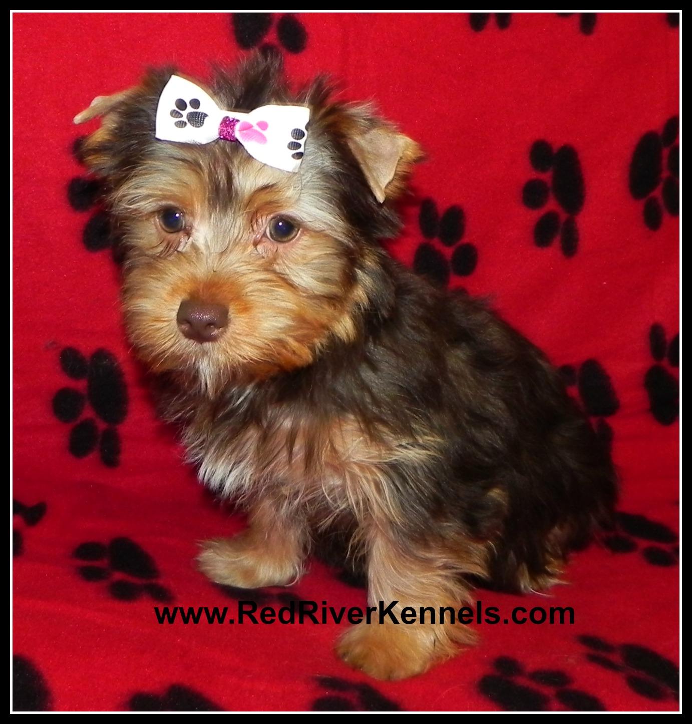 Drever Puppies: Drever Olderpups Breed