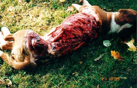 Drever Dog: Drever Varg Breed