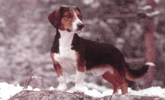 Drever Dog: Drever Watching Drever Dog Breed