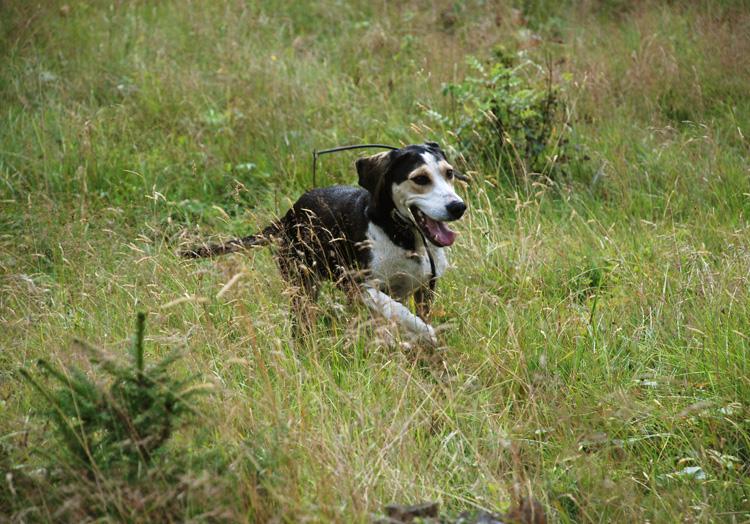 Dunker Dog: Dunker Dunker Dog In Nature Breed