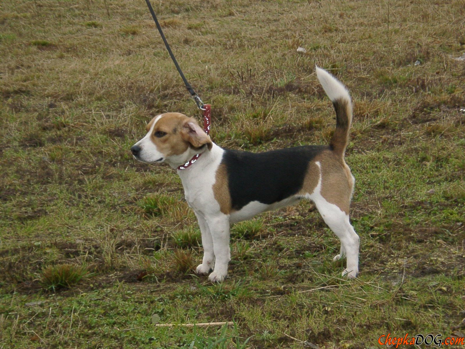 Dunker Puppies: Dunker Dunker Is Balanced And Intelligent Breed