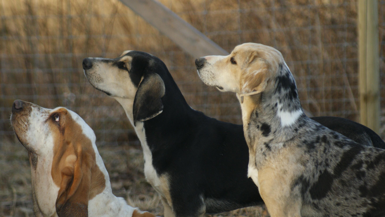 Dunker Puppies: Dunker Estacado Breed