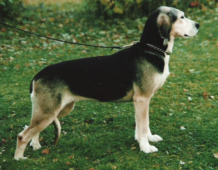 Dunker Dog: Dunker Racas De Caes Breed
