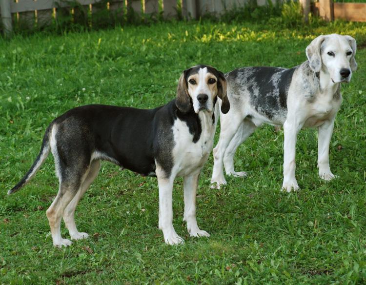 Dunker Dog: Dunker Two Lovely Dunker Dogs Breed