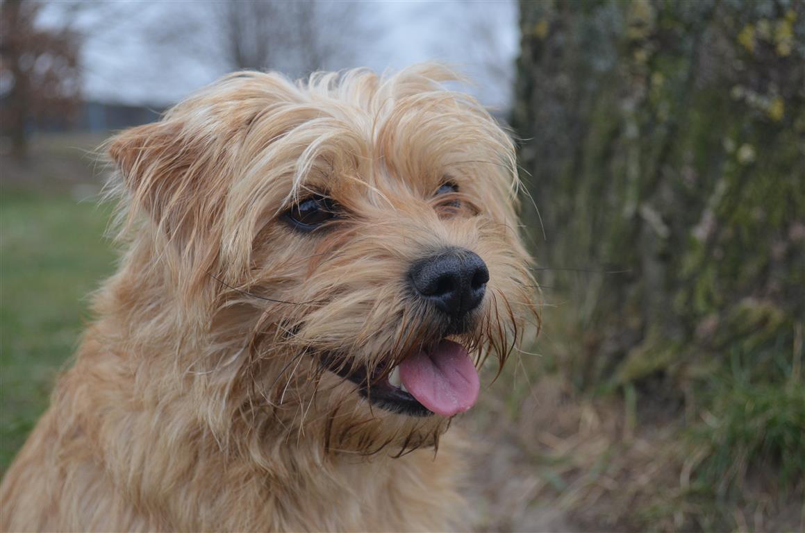 Dutch Smoushond Dog: Dutch Breed