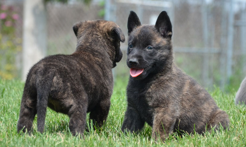 Dutch Shepherd Puppies: Dutch Dutch Shepherd Breed