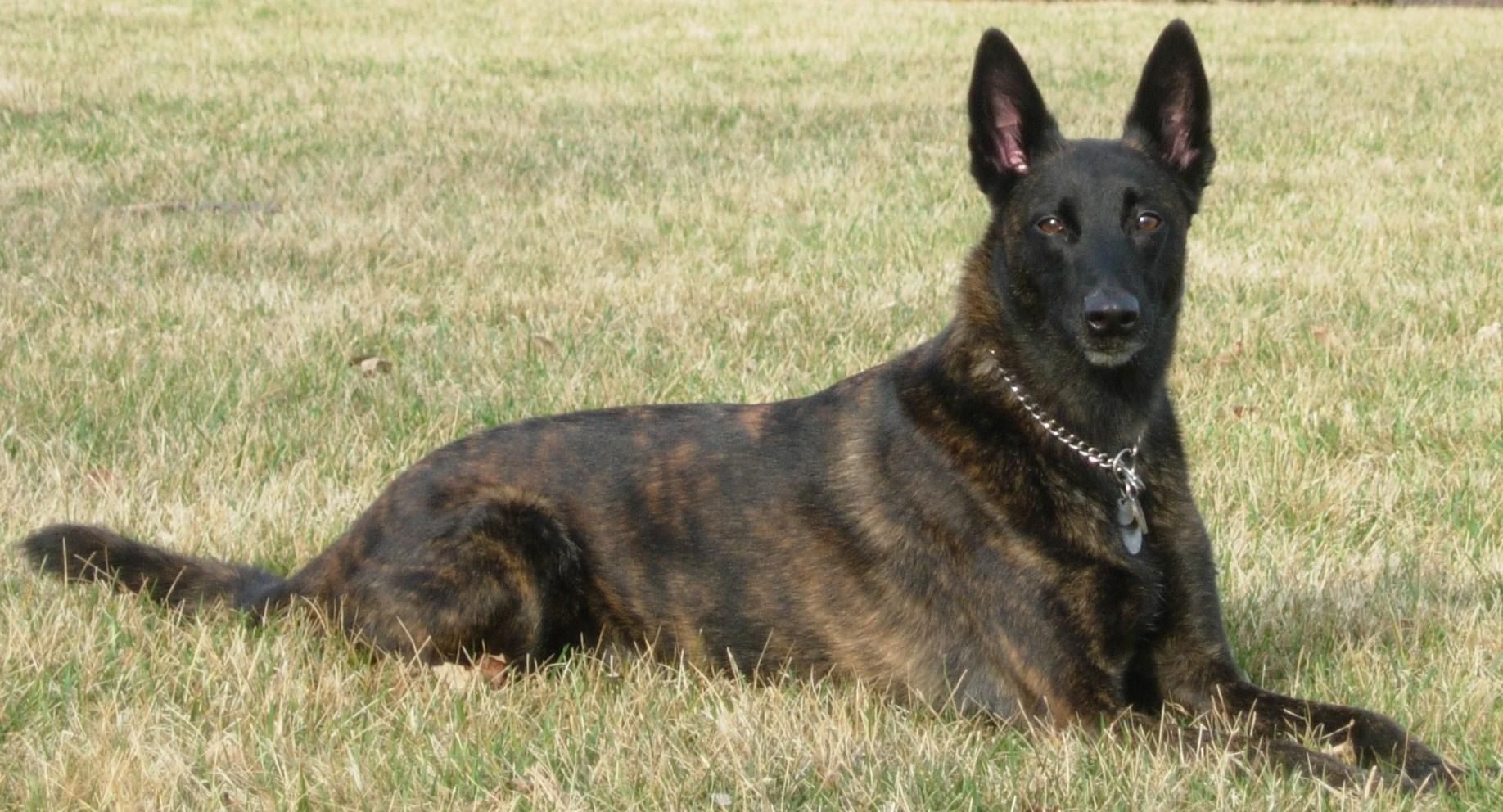 Dutch Shepherd Dog: Dutch Dutch Shepherd Dog In The Field Breed