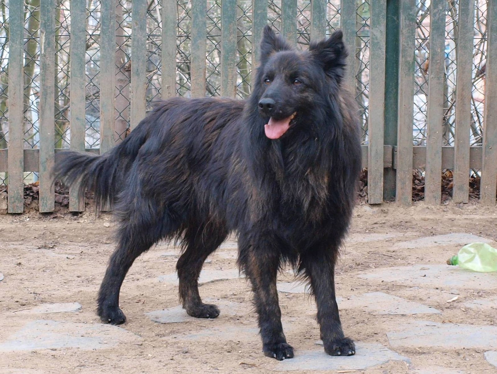 Dutch Shepherd Dog: Dutch Dutch Shepherd Dog Near The Fence Breed