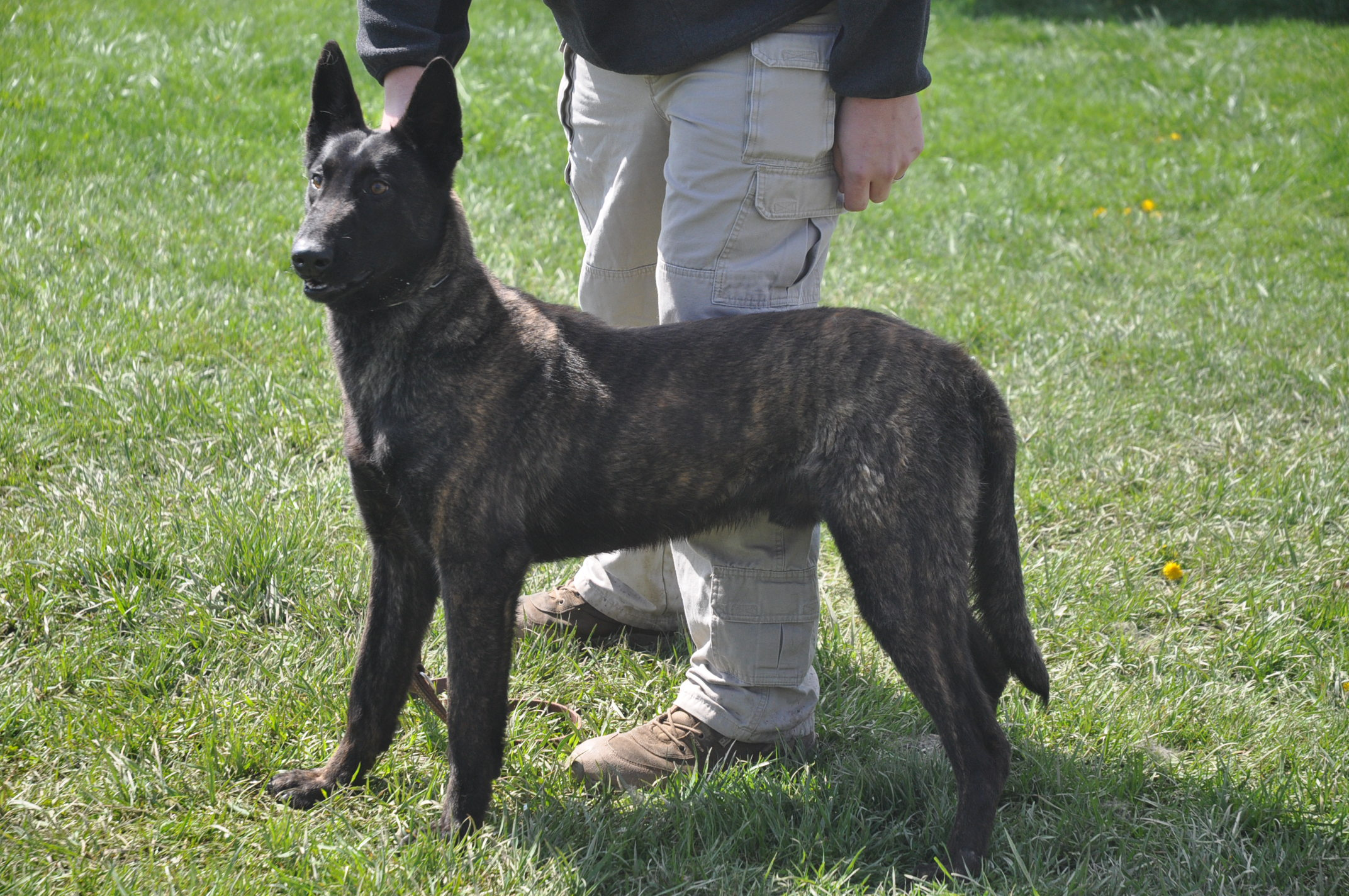 Dutch Shepherd Dog: Dutch Dutch Shepherd Dog With The Owner Breed