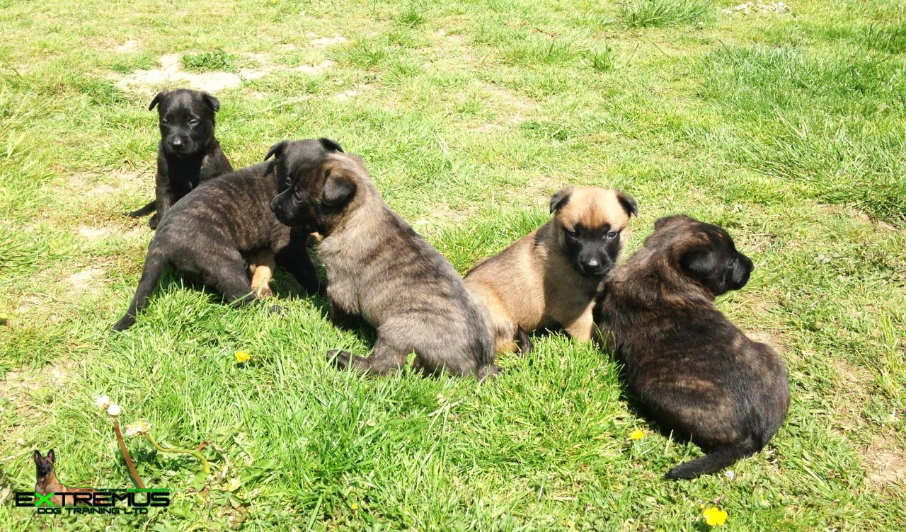 Dutch Shepherd Puppies: Dutch Dutch Shepherd Puppies Colorado Breed