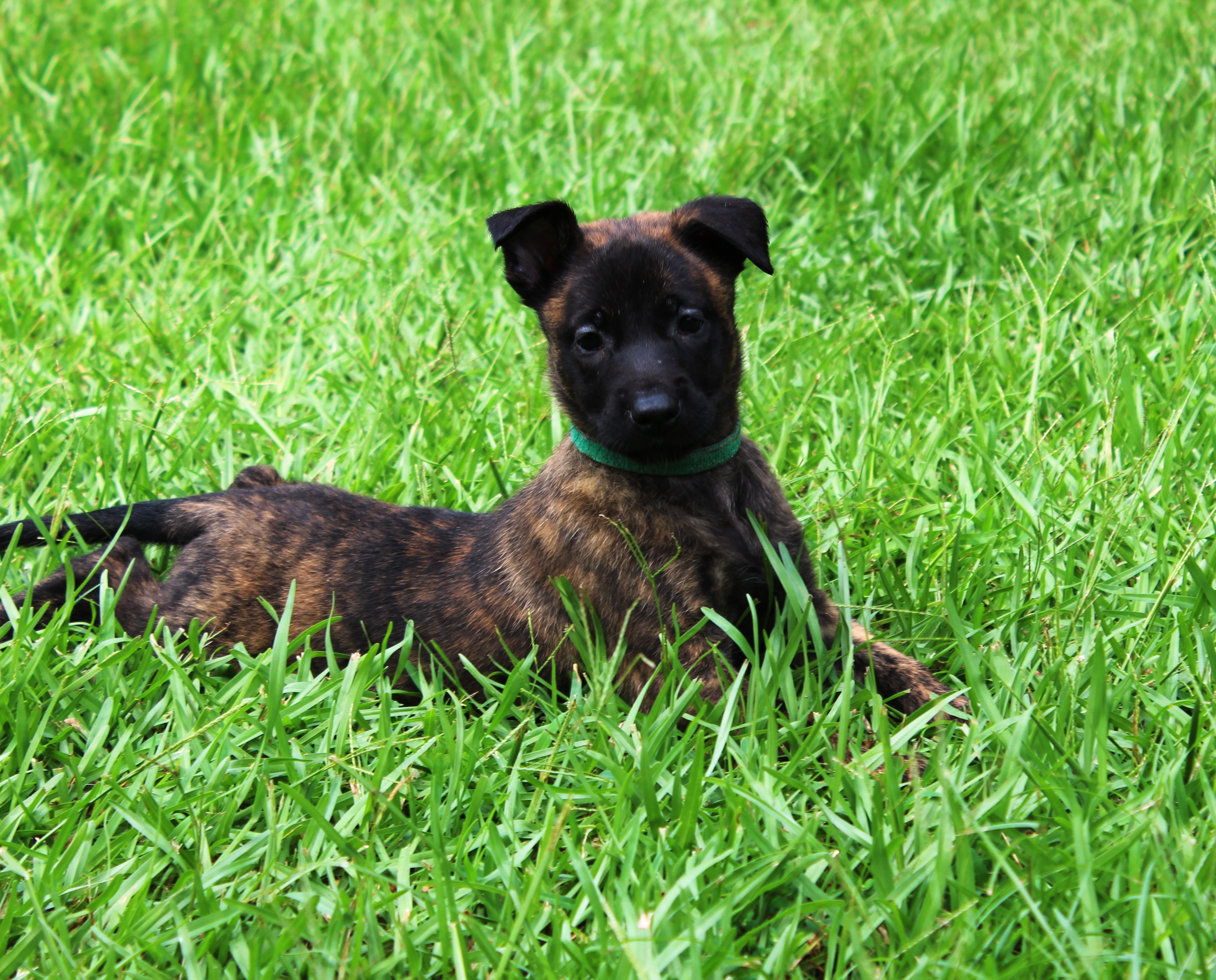 Dutch Shepherd Puppies: Dutch Dutch Shepherd Puppies For Sale In Ms Breed