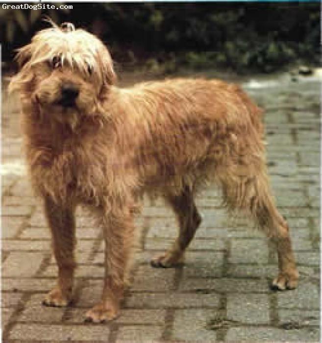 Dutch Smoushond Puppies: Dutch Dutch Smoushond Dogs Terriers Breed