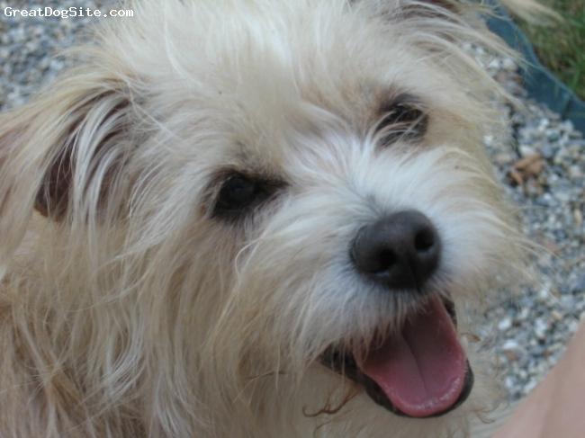 Dutch Smoushond Puppies: Dutch Dutch Smoushond Gallery Dutch Smoushond Puppies For Sale Dutch Breed