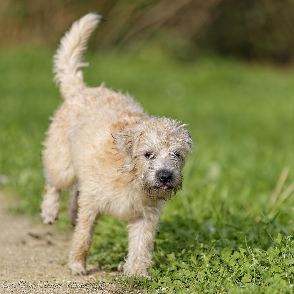 Dutch Smoushond Dog: Dutch Dutch Smoushond Pictures Breed