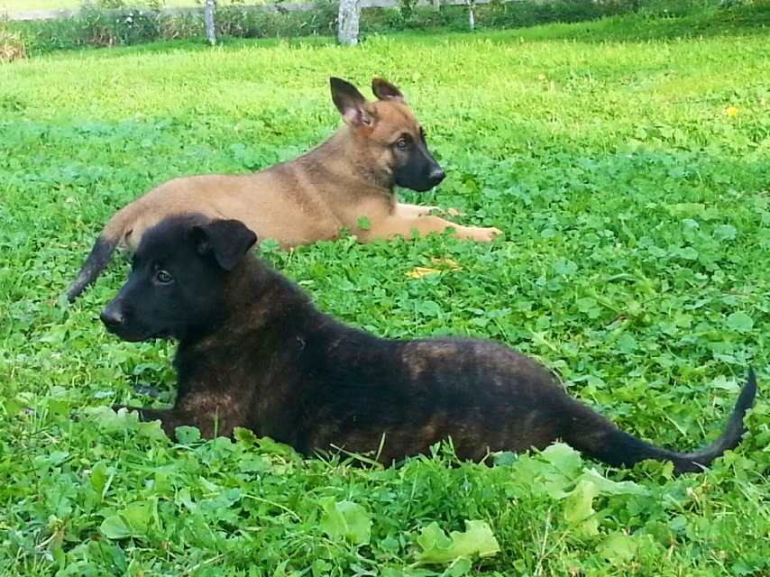 Dutch Shepherd Puppies: Dutch Dutchshepherdpuppies Breed