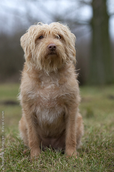 Dutch Smoushond Dog: Dutch Dutchsmoushond Breed