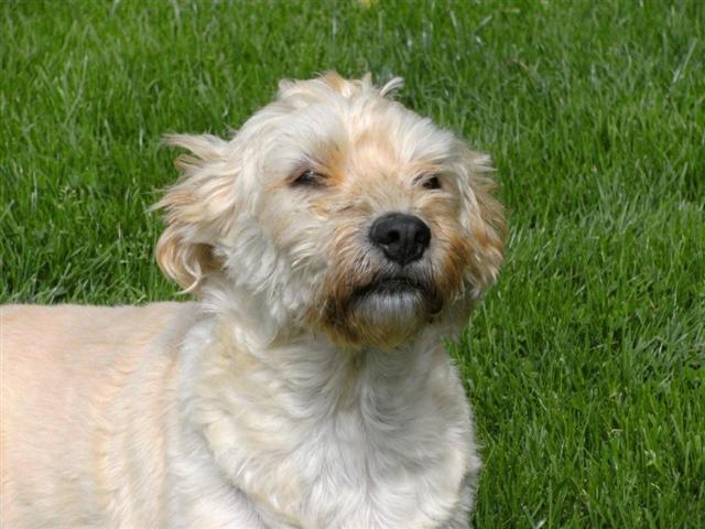 Dutch Smoushond Dog: Dutch Funny Dutch Smoushond Dog Breed