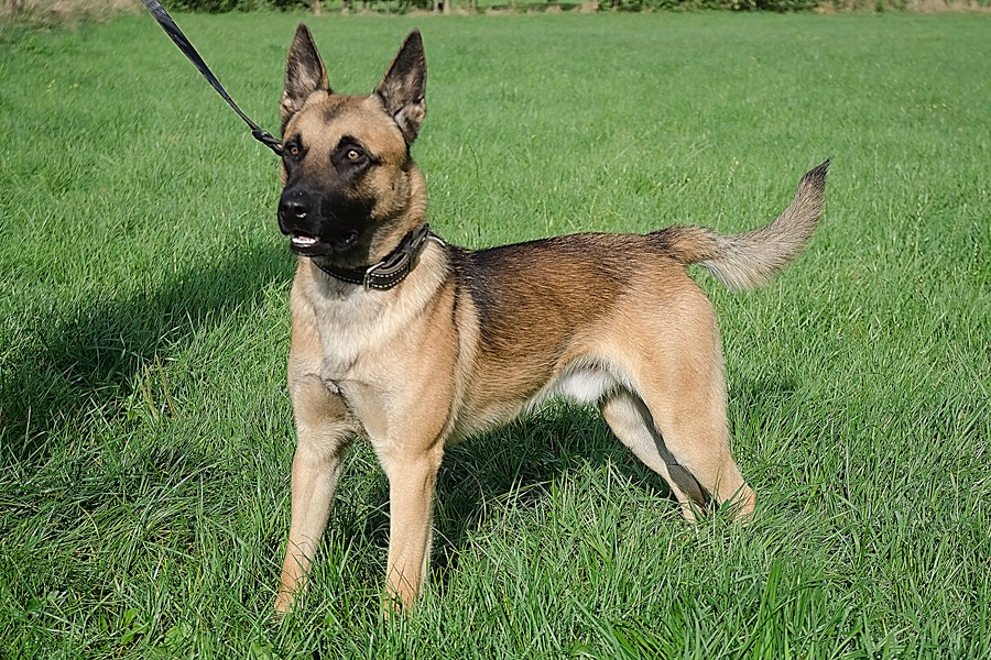 Dutch Shepherd Dog: Dutch Gefokte Jonge Honden Breed