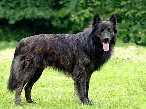 Dutch Shepherd Dog: Dutch Open Breed