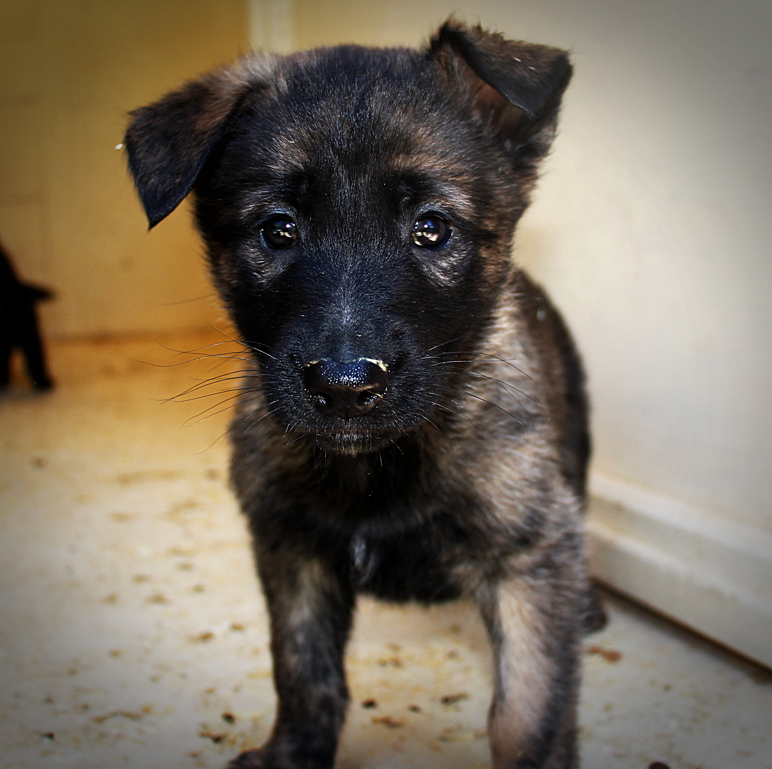 Dutch Shepherd Puppies: Dutch Puppiesavailable Breed