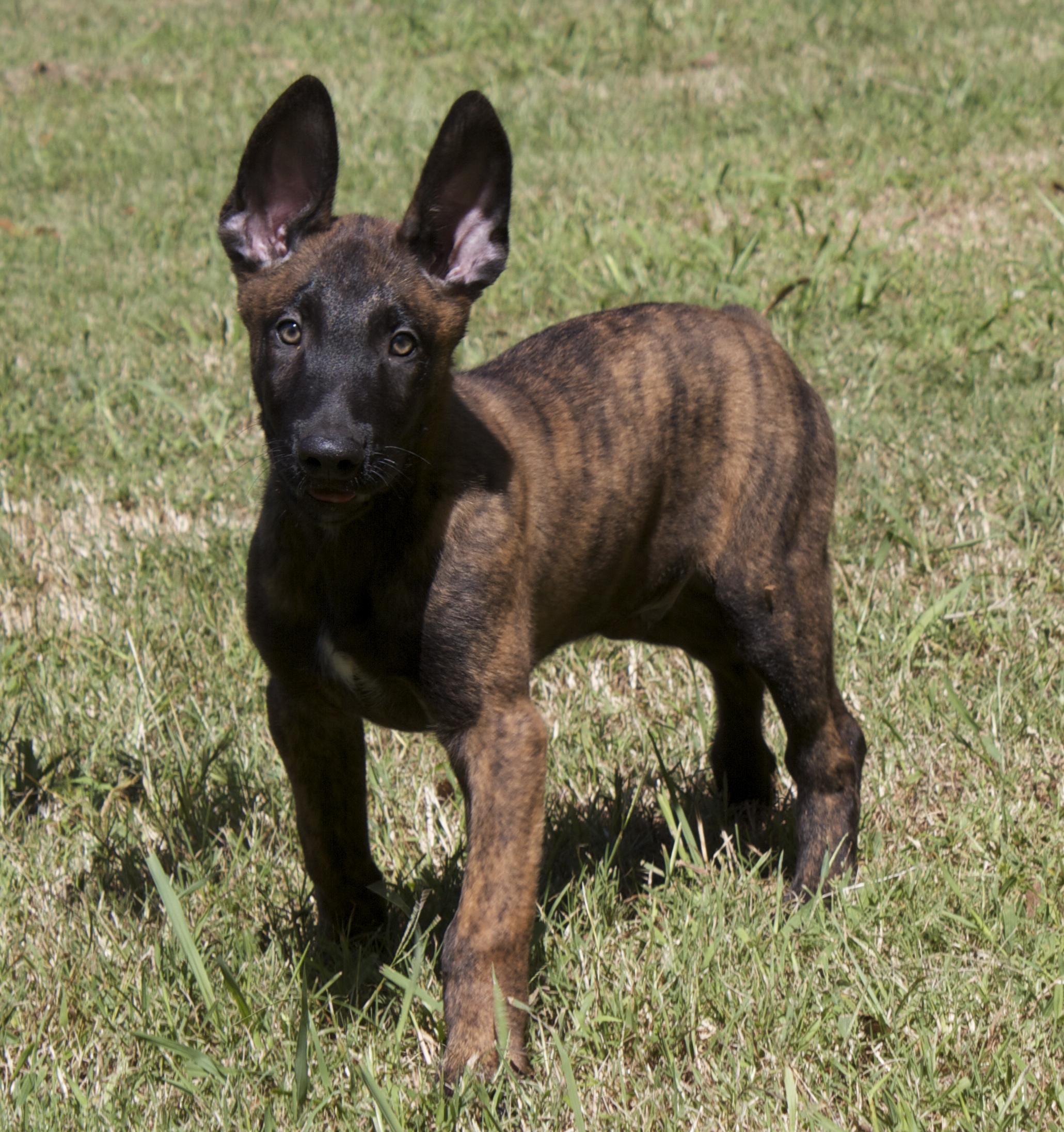 Dutch Shepherd Dog: Dutch Small Dutch Shepherd Dog Breed