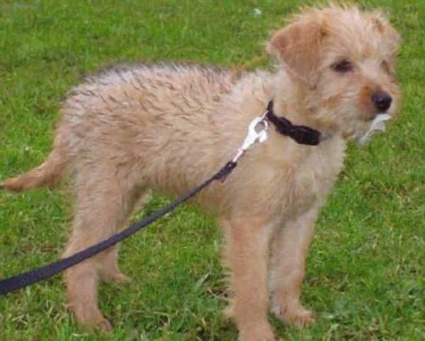 Dutch Smoushond Puppies: Dutch Smousjes Breed