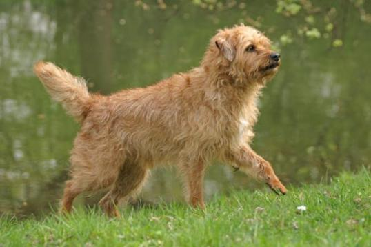 Dutch Smoushond Dog: Dutch Walking Dutch Smoushond Dog Breed