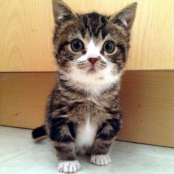 Dwarf Kitten: Dwarf Breed