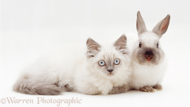 Dwarf Kitten: Dwarf Colourpoint Kitten With Colourpoint Dwarf Rabbit Breed