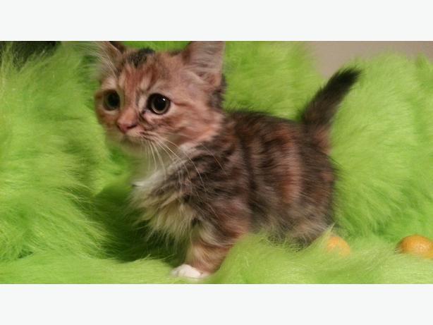 Dwarf Kitten: Dwarf Cuteness Overload Rare Munchkin Dwarf Kittens Breed