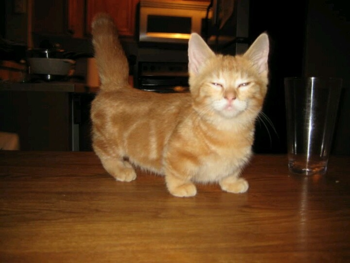 Dwarf Cat: Dwarf Dwarf Cat Breed