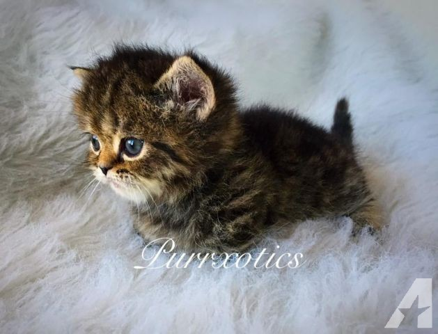 Dwarf Kitten: Dwarf Dwarf Cats Sale Breed