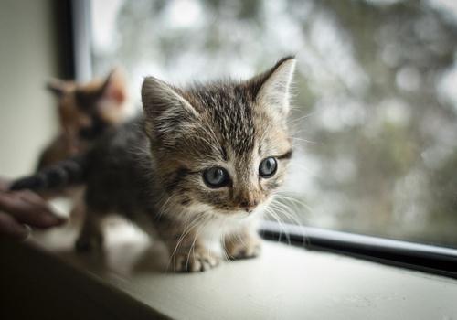 Dwarf Kitten: Dwarf Dwarf Kitten Breed