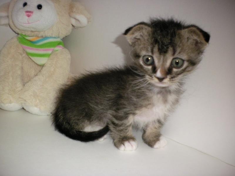 Dwarf Kitten: Dwarf Dwarf Kittens Breed