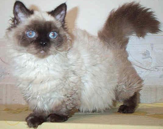 Dwarf Cat: Dwarf Lambkin Dwarf Cat Breed