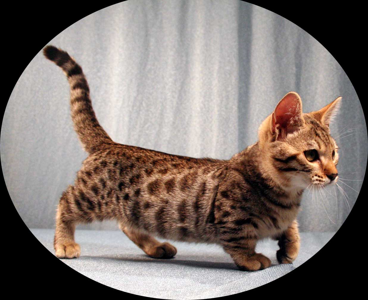 Dwarf Kitten: Dwarf Smallest Breeds Of Cats
