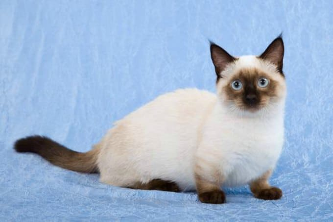Dwarf Cat: Dwarf Top Adorable Dwarf Cat Breeds Around The Globe
