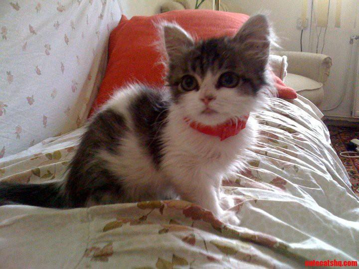 Dwarf Cat: Dwarf Zhdhcmygyf Breed