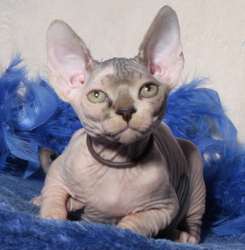 Dwelf Kitten: Dwelf Breed