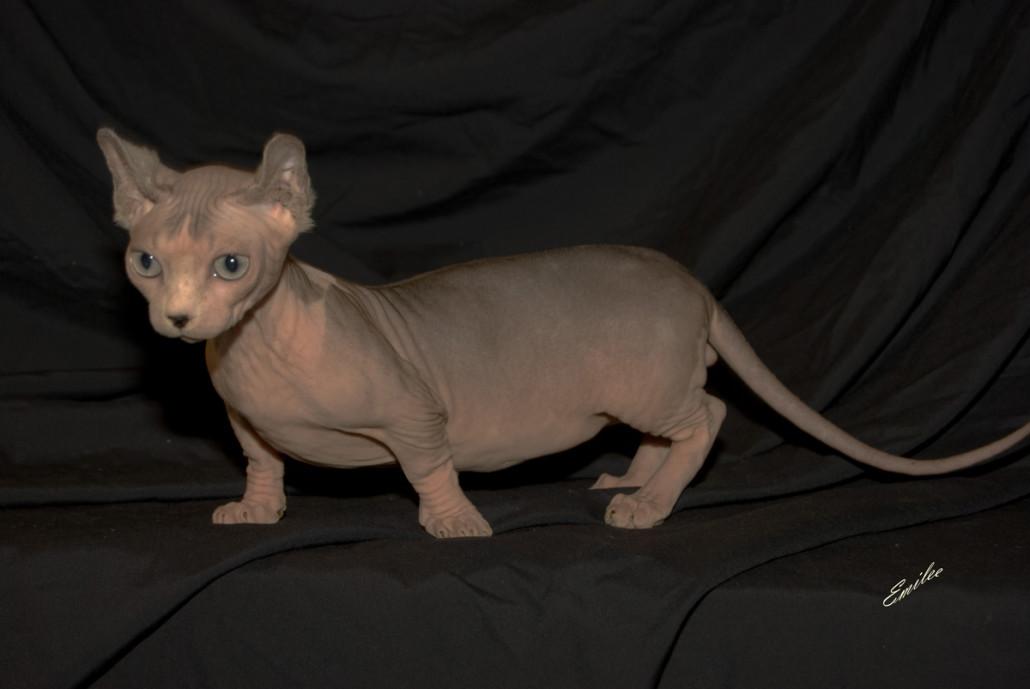 Dwelf Kitten: Dwelf Dwelf Breed