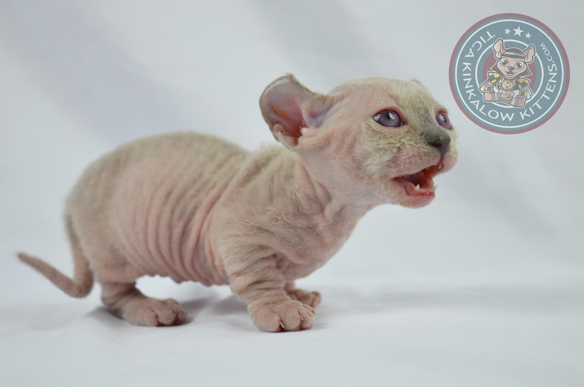 Dwelf Kitten: Dwelf Dwelf Kitten Available Munchkin With Curled Ears Breed