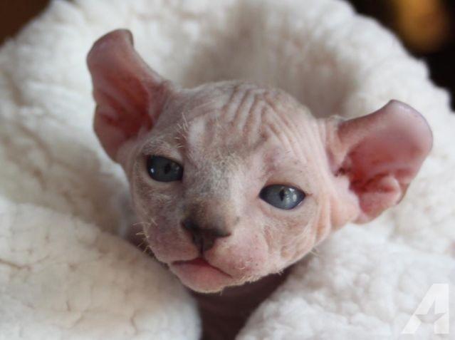 Dwelf Kitten: Dwelf Dwelf Kitten Breed