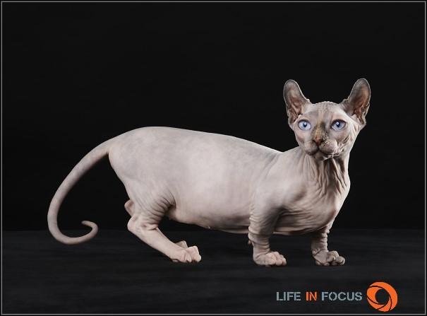 Dwelf Kitten: Dwelf Dwelfs E Breed