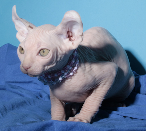 Dwelf Kitten: Dwelf Index Breed