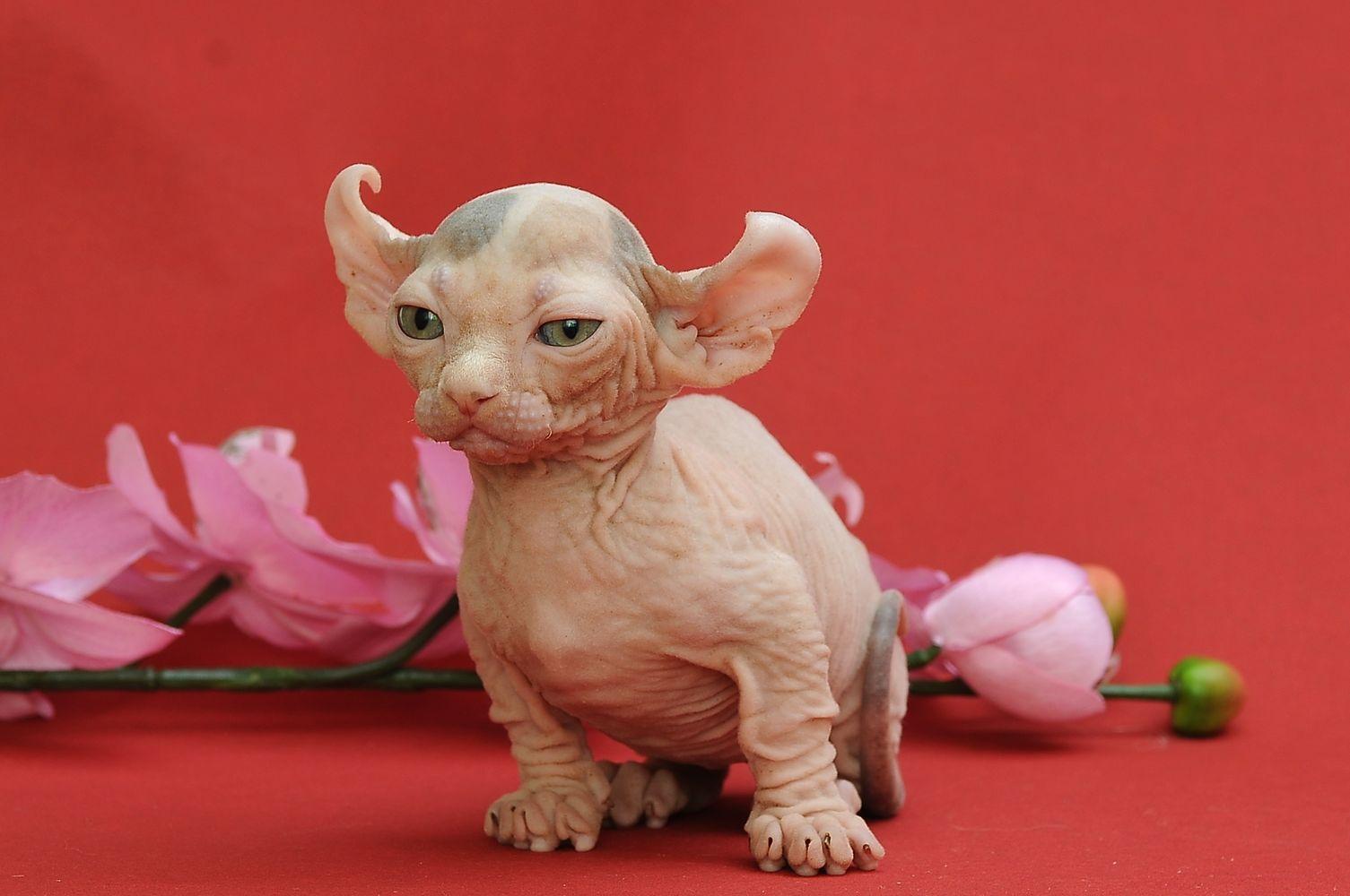 Dwelf Kitten: Dwelf Kotyata Breed