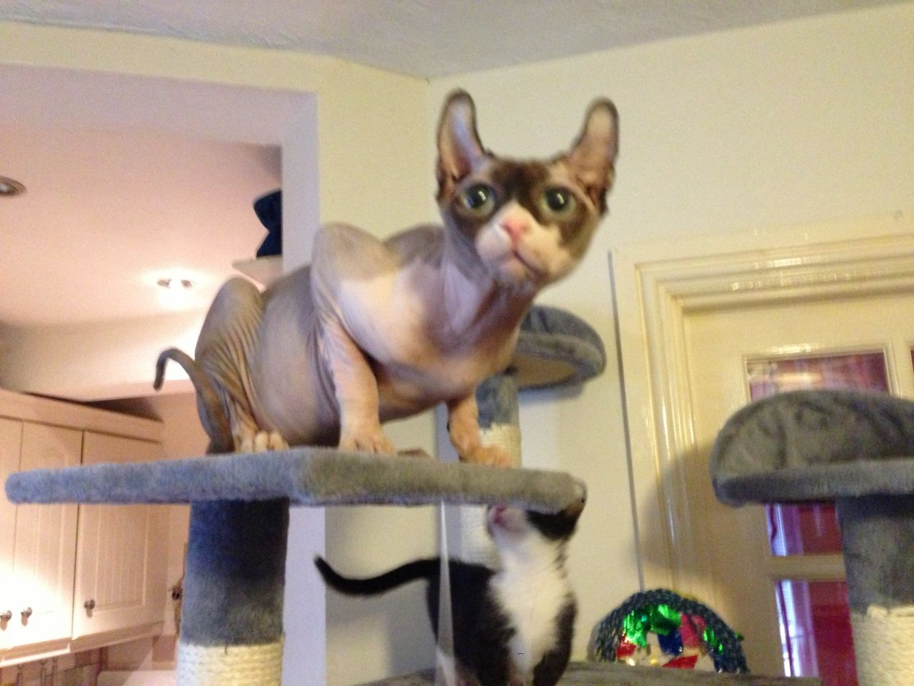 Dwelf Cat: Dwelf Ns Dwelf Sphynx Stud Rugeley Breed